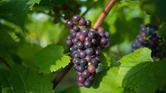 مكافحة الإمساك والسكري..هذه هي فوائد العنب العديدة