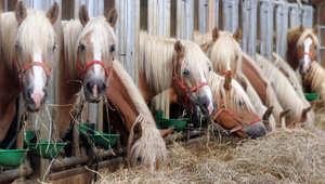 بينها أمراض الكبد والكلى... هكذا تعالج حصانك من الأمراض الخطيرة بالغذاء
