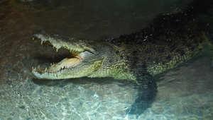 تمساح عملاق يكشف عن أنيابه في دبي مول
