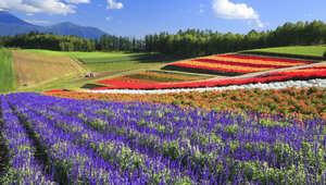 حقول الزهور في هوكايدا باليابان