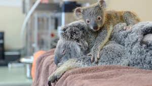 كوالا صغير يحتضن والدته خلال إجرائها عملية.. شاهد أظرف الحيوانات في العالم