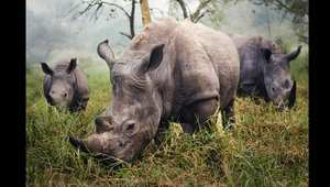 """تكريم: """"وحيد القرن الأبيض"""" لستيفاني بيروبي"""