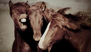 تعرّف إلى خيول أيسلندا... لمقاتلي الفايكنغ الأصليين
