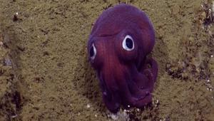 شاهد.. علماء يرصدون حباراً غريباً بعينين كبيرتين في قاع البحر