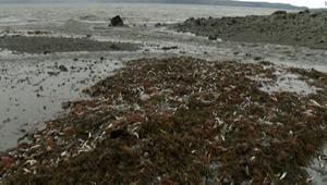آلاف الأسماك النافقة تظهر على شواطئ كندا