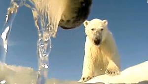 كيف تتكيف الدببة القطبية مع التغير المناخي؟