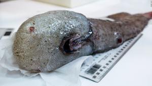 شاهد.. أسماك بلا وجوه تحير الباحثون