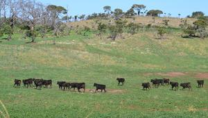بهذه المزرعة..الأبقار تأكل الشوكولاتة بدلاً من العلف