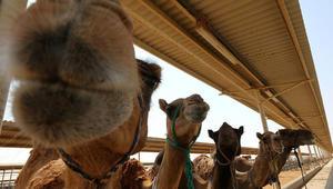 من دبي: ابتكار تركيبة من حليب الإبل للرضّع المصابين بالحساسية