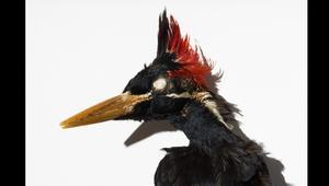 حيوانات منقرضة معروضة في متحف