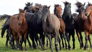 """بالصور..هذه الخيول الأوروبية """"العاشقة"""" تكافح الانقراض"""