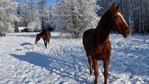 """عندما تقلد الخيول """"بيكاسو"""" وترسم بحوافرها على الثلوج"""