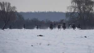 كيف تُعمد الخيول بعيد الغطاس في رومانيا؟