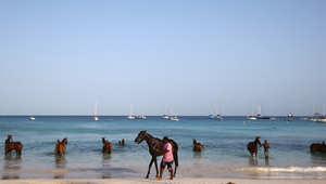 بالصور..وللخيول قسط من الشمس والبحر في الكاريبي