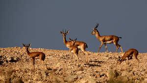 غزلان في جزيرة صير بني ياس أبوظبي