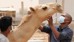 عامل هندي يرتدي قناعا واقيا خلال تعامله مع الإبل في مزرعة بالسعودية