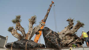 لماذا نقلت 58 شجرة زيتون أوروبية عمرها أكثر من ألف عام إلى دبي؟