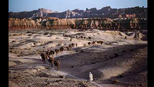 قافلة إبل تقطع طريقها عبر التضاريس الصخرية في جنوب أفغانستان، عام 1980.