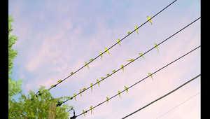 بالصور.. ببغاوات بريش أخضر ومناقير قرمزية تجوب سماء طوكيو