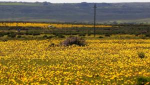 صحراء أفريقيا المقفرة تغطى بعباءة من الزهور