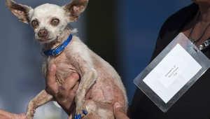 بالصور.. شاهد المشاركين بمسابقة العالم لأبشع كلب في العالم