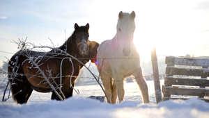 بين إصابات الحوافر والتشنجات المعوية... هكذا تُعالج أبرز أمراض الخيول خلال فصل الشتاء