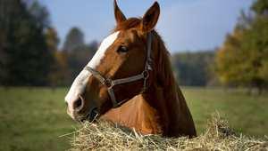 نصائح ضرورية لاختيار نوعية العلف الأفضل للحصان