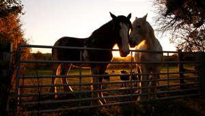هل حصانك سعيد؟