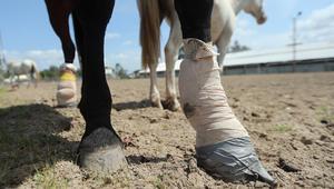ما هي الطرق الصحيحة لعلاج إصابات الحصان؟