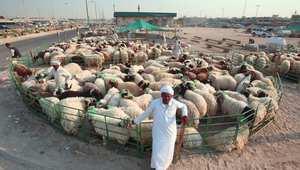 بائع أغنام ينتظر قدوم المشترين في أحد الأسواق بالكويت
