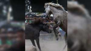 الخيول تتنافس أيضاَ في موسم التزاوج إلى حد الموت..في الفلبين