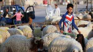 صبي عراقي يقف وسط مجموعة من الخراف في سوق للمواشي بمدينة البصرة العراقية