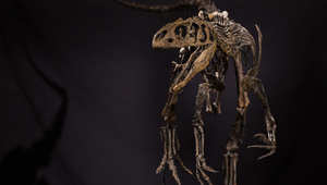 هل أنت مهتم باقتناء ديناصور؟ إذاً هذه فرصتك