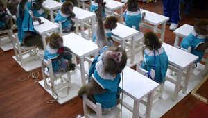 قرد يرفع يده في الصف بمدرسة لتدريب القرود في الصين