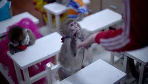 قرد يلمس يد المدرب في مدرسة لتدريب القرود في حديقة حيوانات بالصين