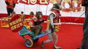 قرود تشارك في الاحتفال بعام القرود في الصين