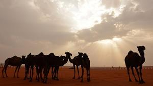 """السعودية: اكتشاف """"كورونا"""" بحوارين واستبعاد القطيع المخالط من مهرجان الإبل"""