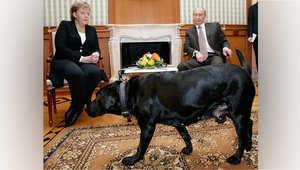 فلاديمير بوتين: لم أقصد إخافة انجيلا ميركل بكلبي