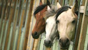 نوعية وكمية وجودة طعام الحصان
