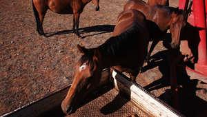 6 نصائح غذائية ضرورية لخيول السباقات