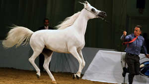 أردوغان: سلالة الخيل الهامة الموجودة في بريطانيا وروسيا وأمريكا وأماكن أخرى هي الخيول العربية