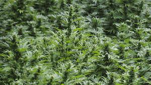 صورة لنبتة الماريغوانا