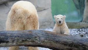 """الدب القطبي الأنثى """"ليل"""" في أول يوم لها في الهواء الطلق بحديقة الحيوان في ألمانيا."""