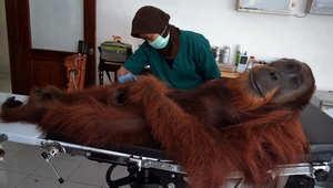 """طبيب بيطري يفحص ما يعرف بـ إنسان الغاب""""  وعمره 14 عاماً."""