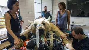 دب سوري خلال عملية جراحية للعمود الفقري في إسرائيل.
