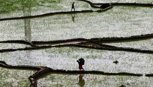 امرأة تحمل كمية من الأرز في نيبال.
