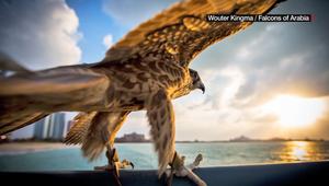 الصيد بالصقور في الإمارات