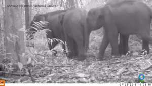 فيديو يظهر مجموعة نادرة من الفيلة الآسيوية بغابة كمبودية