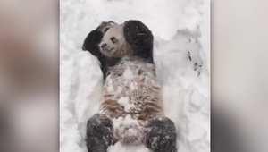 شاهد.. حماس باندا لمشاهدة الثلوج وهي تتساقط