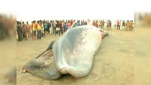 بالفيديو: حوت نافق على أحد الشواطئ في الهند